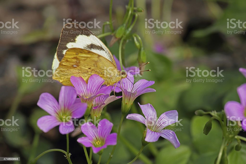 Insect, Butterfly, Yellow orenge Tip, Ixias Pyrene, India stock photo
