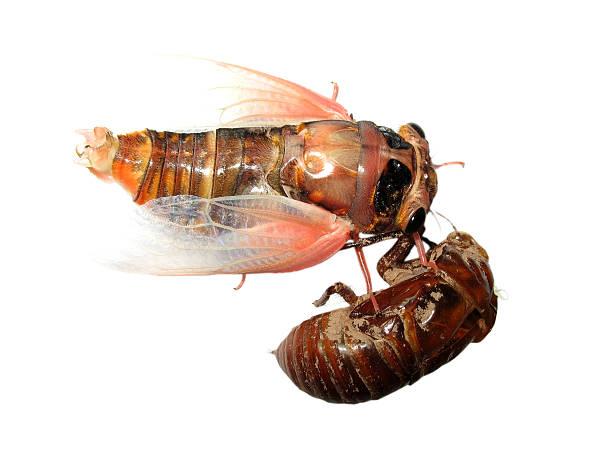 insect cicada and molt - locust swarm stockfoto's en -beelden