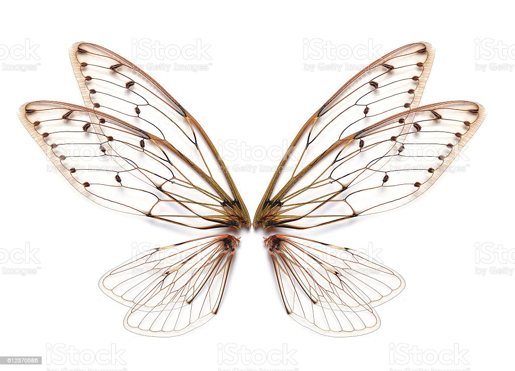 Insect cicada wing  isolated on white background stock photo