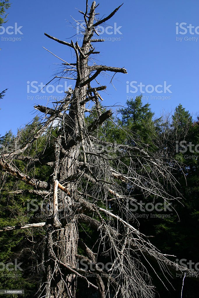 Insect Devastation – Clingman's Dome, Tennessee royalty-free stock photo