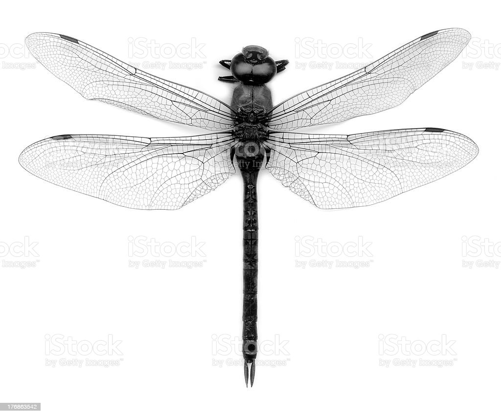 insect dragonfly stock photo 176863542 istock