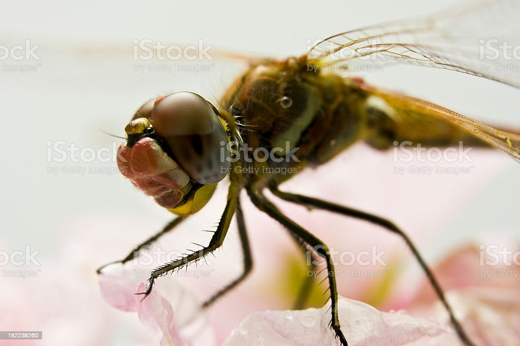Insect - Dragonfly royalty-free stock photo