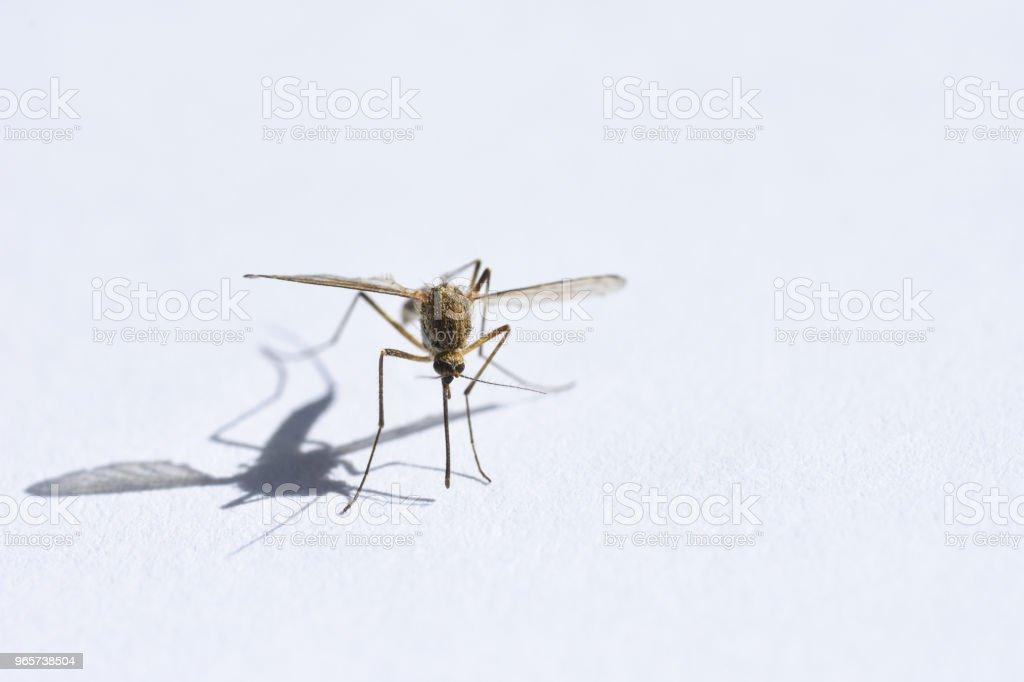 Insect drinken bloed, mug op witte achtergrond close-up, schaduw, kopie ruimte - Royalty-free Aedes Mosquito Stockfoto