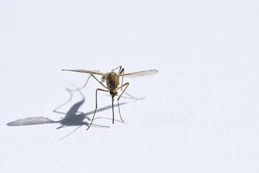 Insect Drinken Bloed Mug Op Witte Achtergrond Closeup Schaduw Kopie Ruimte Stockfoto en meer beelden van Aedes Mosquito
