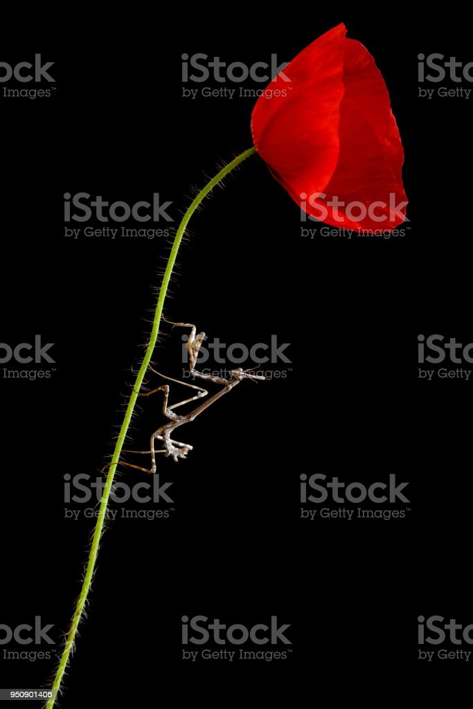 insect empusa pennata in a red poppy isolated on black background with space for text stock photo