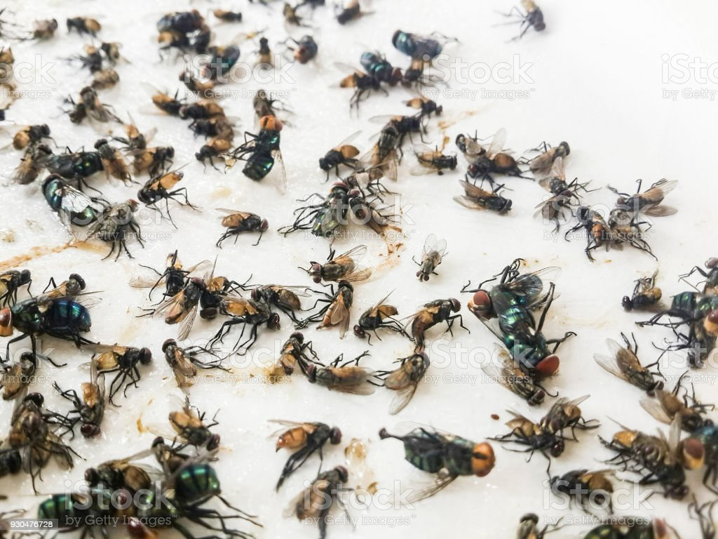 Insect fly trapped dead. On white paper stock photo