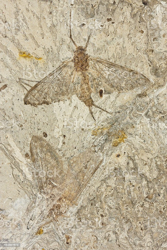 Insect fossil, Ephemeroptera (Epicharmeropsis hexavenulosus) , Early Cretaceous stock photo