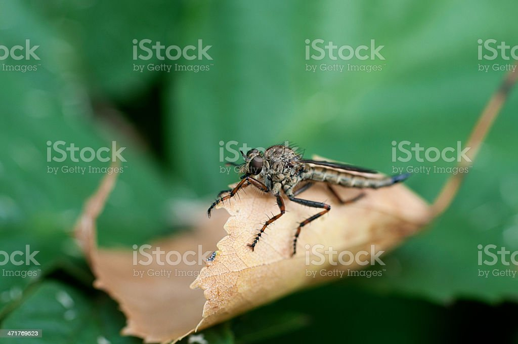 Insect gad horse fly royalty-free stock photo