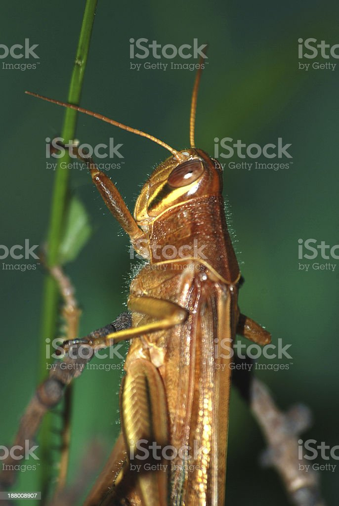 insect grasshopper royalty-free stock photo