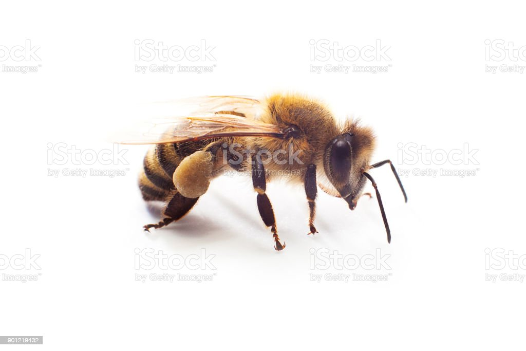 Insect honey bee with pollen on its paws isolated on white stock photo