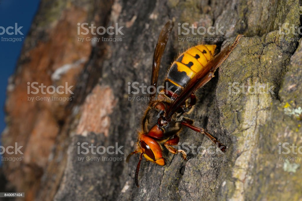 Insect hornet on the bark of an oak tree stock photo
