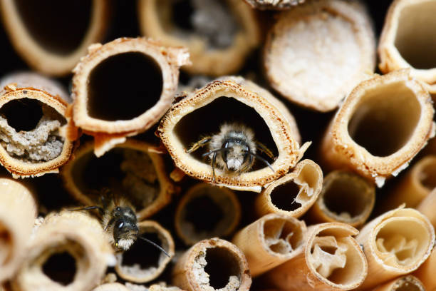 Insect hotel with male Osmia bicornis  wild bees. stock photo