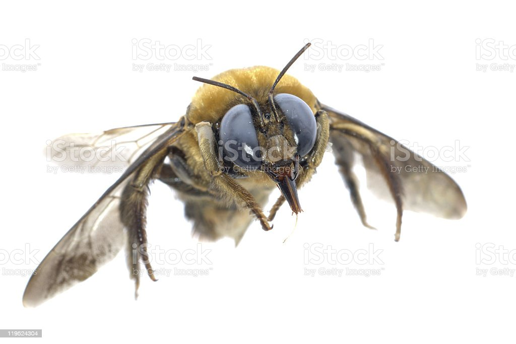 insect humble bee stock photo