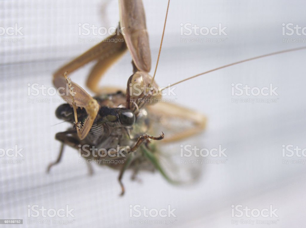Insect - Hungry Chinese Mantid royalty-free stock photo