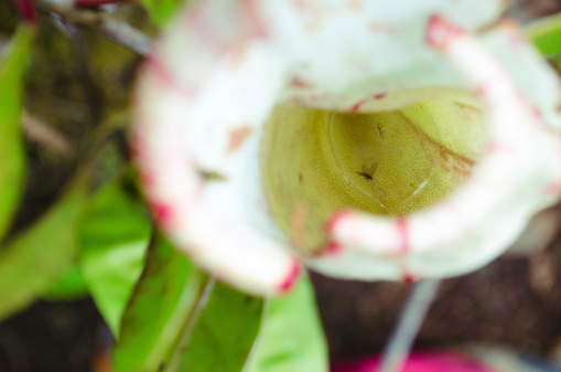Insect Inside Nepenthes, copy space