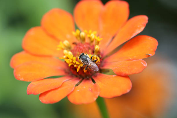 Insect is drinking nectar from orange Zinnia flower stock photo