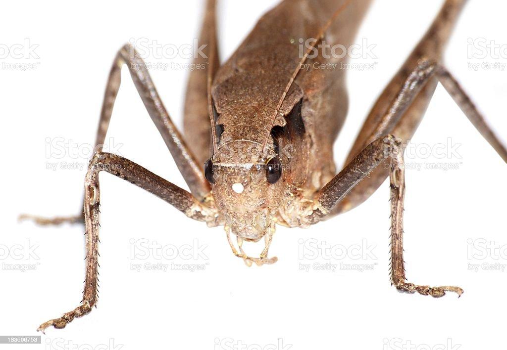 insect katydid isolated stock photo