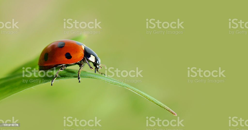 Insect ladybird on a green leaf of grass. stock photo