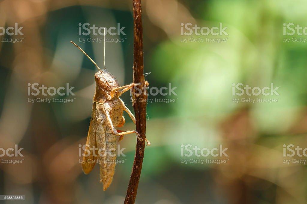 Insect, locust,grasshopper . stock photo
