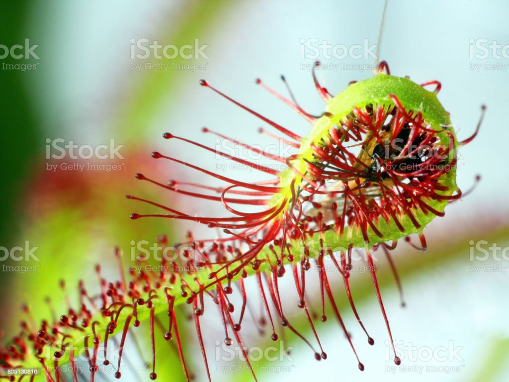 Insect moskito traped by drosera ( sundew ) close up stock photo
