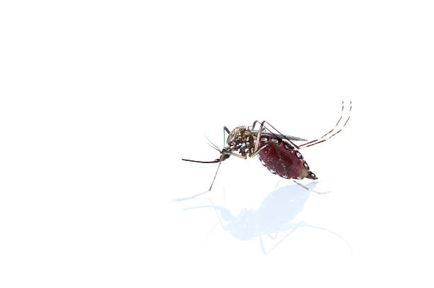 Insect Mosquito isolated on white background stock photo