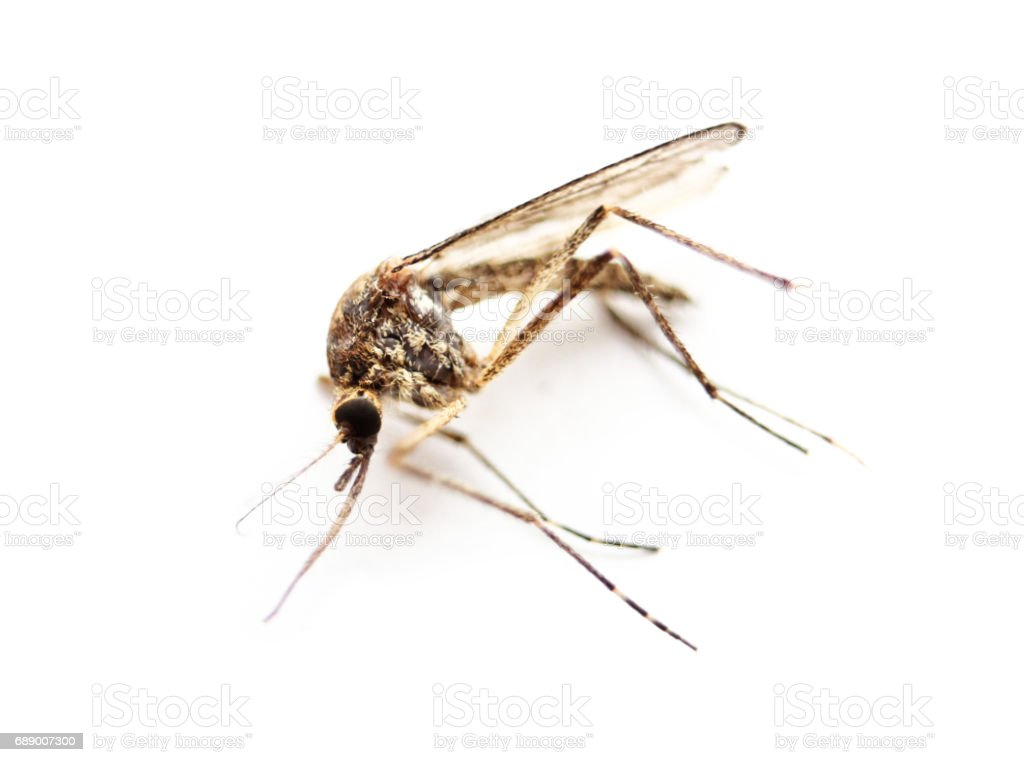 Insect Mosquito stock photo