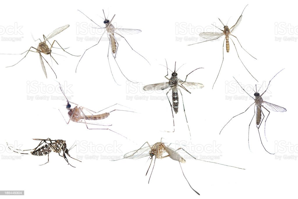 insect mosquito set royalty-free stock photo