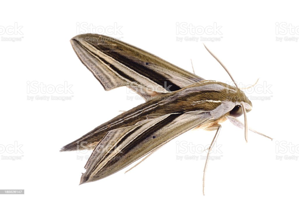 insect moth isolated royalty-free stock photo