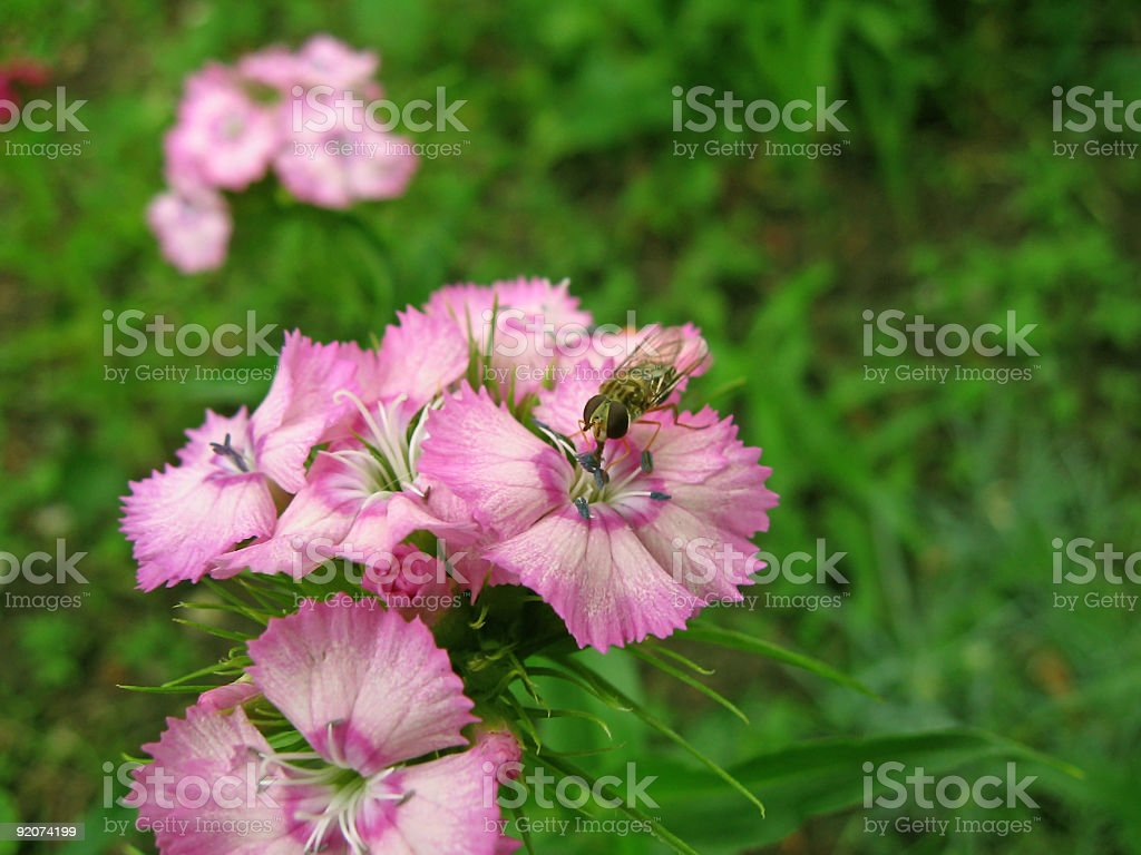Insect on a flower royalty-free stock photo