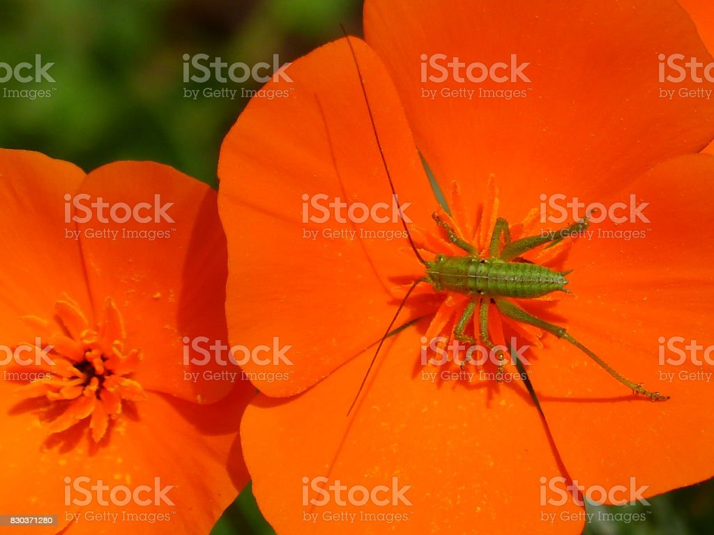 Insect on an eschscholzia stock photo