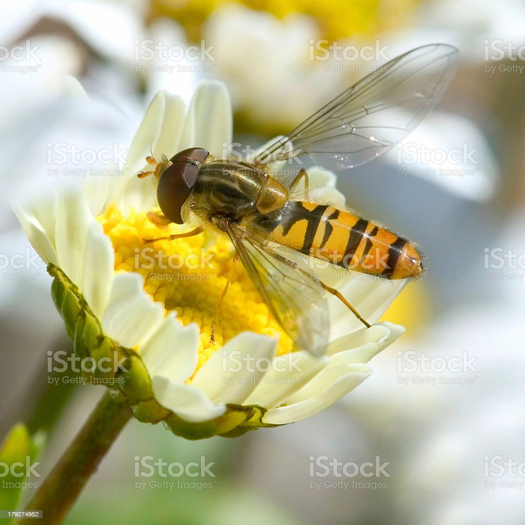Insect on daisy stock photo