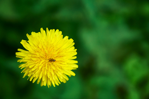 A small insect on a dandelion flower.