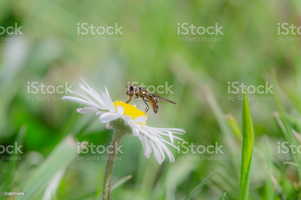 Insect on Flower, white with yellow, side view, in a field stock photo