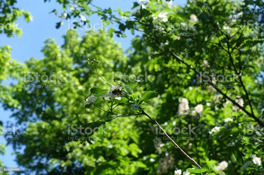 Insect on flowering branch of Crataegus tree stock photo