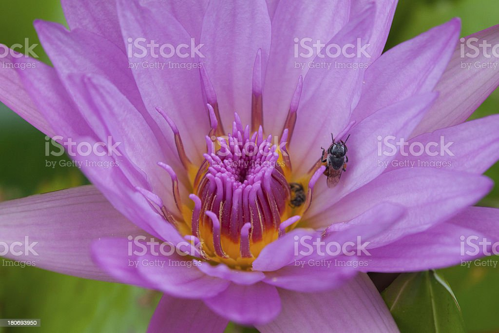 insect on pollen water lily royalty-free stock photo