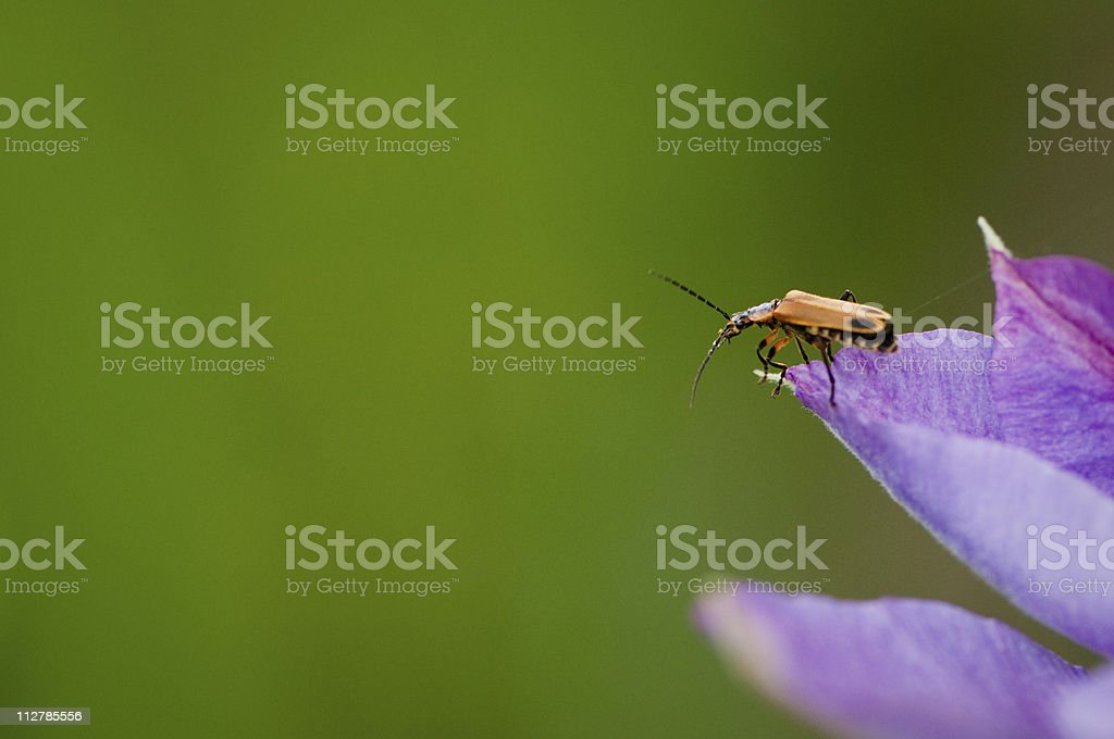Insect on purple flower petal royalty-free stock photo