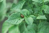 Insect pest Colorado potato beetle sits on a potato bush