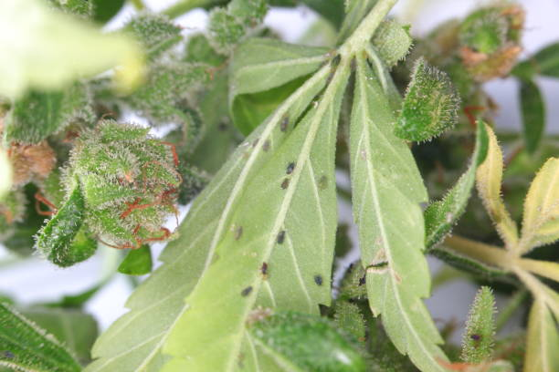 Insect pests on medical cannabis plants. stock photo
