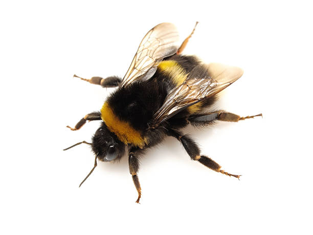 insect. - bumblebee stock pictures, royalty-free photos & images