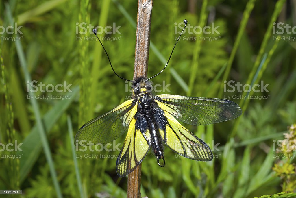 Insect (Ascalaphidae) royalty-free stock photo