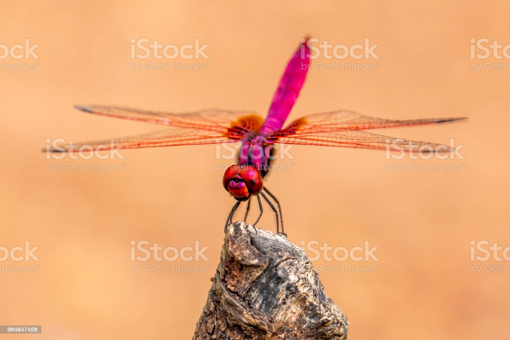 Insect red dragonfly in nature royalty-free stock photo
