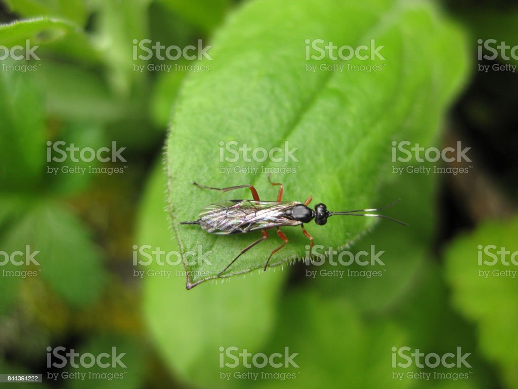 Insect rider. The hymenopteran insect on a green leaf. stock photo