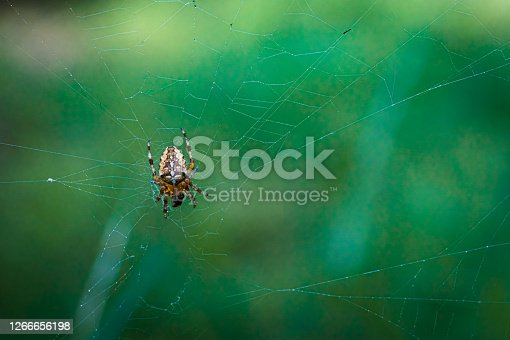 A garden spider sits in its web and lurks for prey.