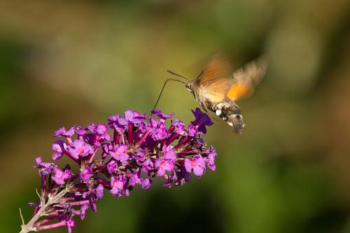 Insect Sucking Nectar on a pink purple Buddleja flower - Insecto Chupando Nectar de una flor Budelia de color  purpura rosa
