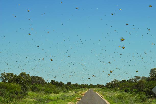 insect swarm - locust swarm stockfoto's en -beelden
