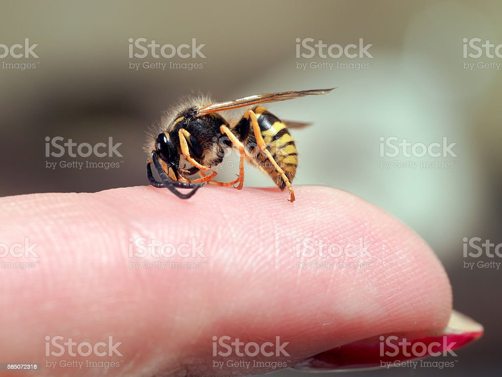 Insect wasp on a female finger. macro - foto de stock
