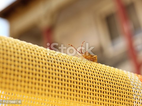 istock Insect with long feelers on sunbed in the garden. Pentatomidae. Antenna. Macro picture. 1127566116