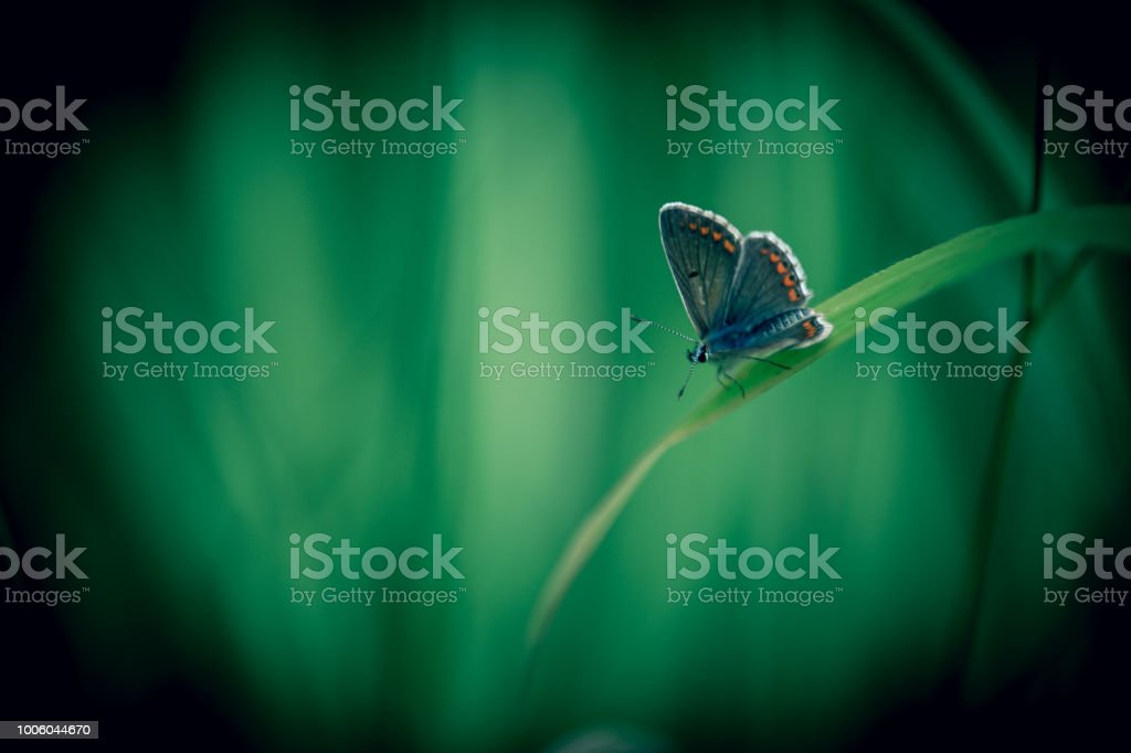 leur azuré commun seul en été en prairie sur brin herbe - Photo