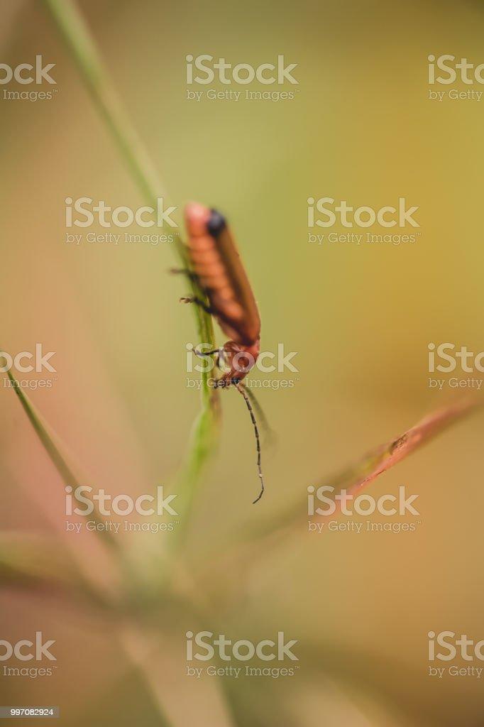 seul leur cardinal rouge et noir posé sur un brin d'herbe en été - Photo
