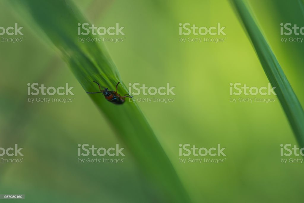 leur foncé marche sur un brin d'herbe verte sous la lumière douce en plan rapproché - Photo